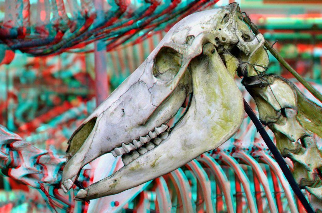 cranio di animale preistorico nel museo di storia naturale di parigi.