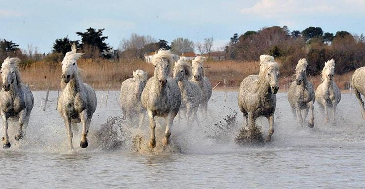 cavalli-bianchi-camargue