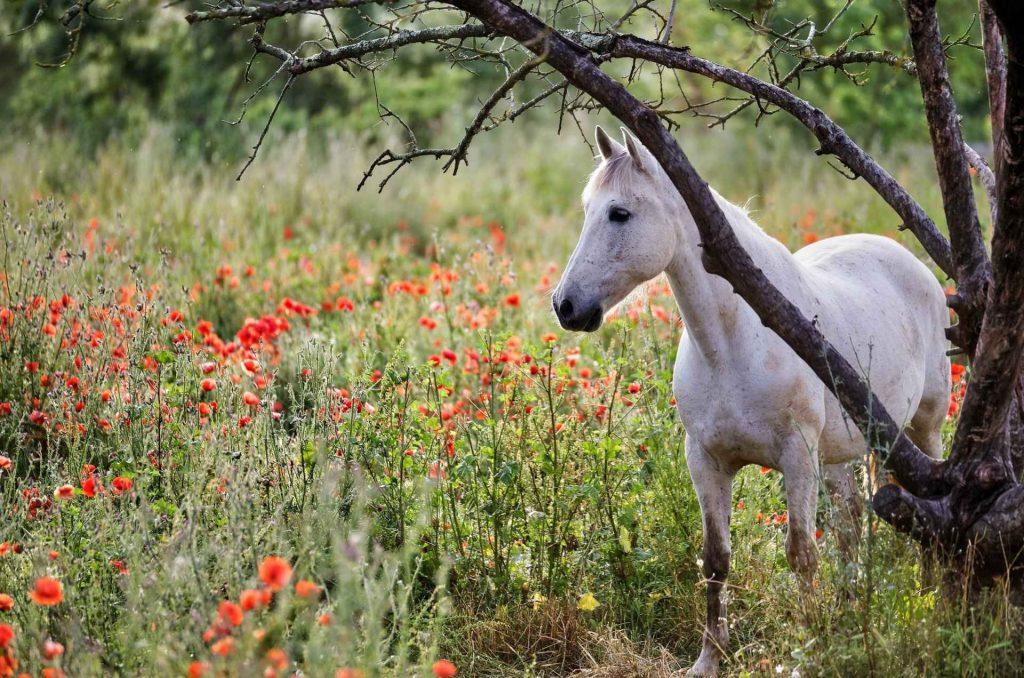 cavallo bianco della camargue in un campo di fiori rossi