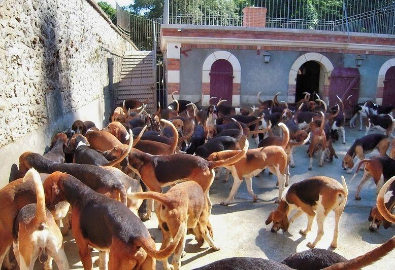 cani da caccia nel giardino del castello di cheverny