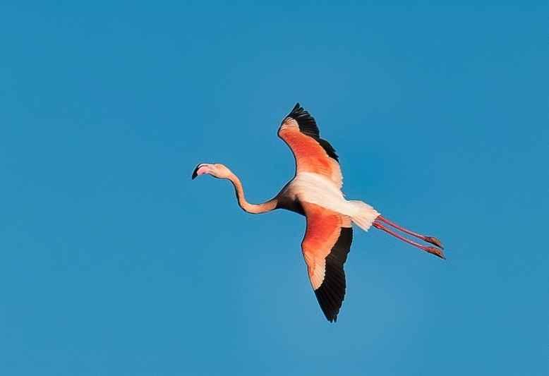 fenicottero rosa in volo